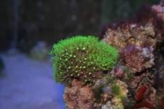 0 - Coral Metallic Green Star polyps, Aquário Max - Apartamento Max, São Caetano do Sul