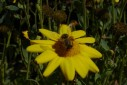 - abelha na flor - Capivari, Campos do Jordão