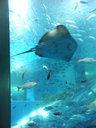 - arraia, peixes - Aquário, Japão
